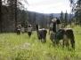 Yellowstone Llama Trek